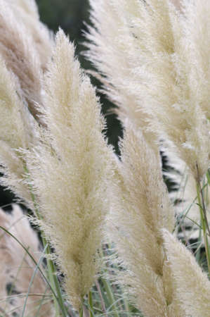 cane plumes: Spikes of Pampas grass Stock Photo