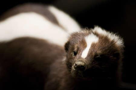 skunk: portrait of a skunk in backlight