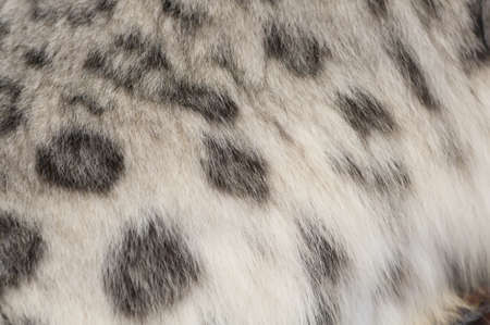 spotted fur: Close-up of the spotted fur of a snow leopard