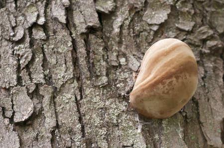 globular: Globular mushroom growing on tree bark