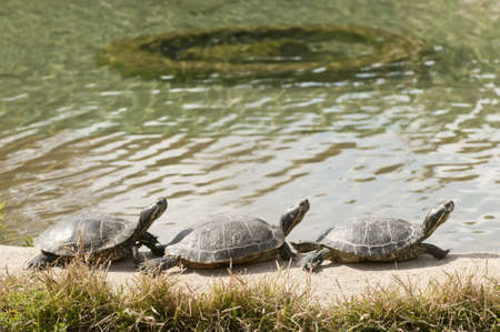 Three turtles basking in the midday sun Stock Photo - 18396520