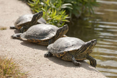 Three turtles basking in the midday sun Stock Photo - 18396490