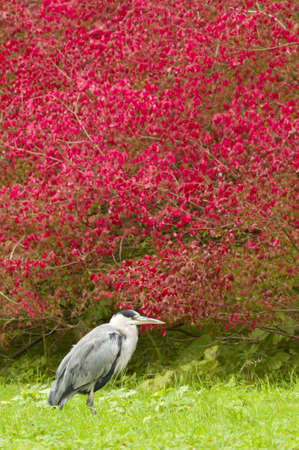 ardea cinerea: Grey heron resting on grass with red bush in background