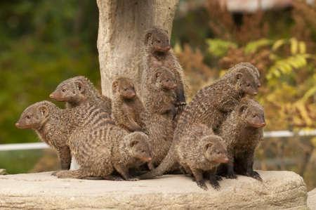 mangosta: Grupo de los Banded Mongoose (Mungos mungo)