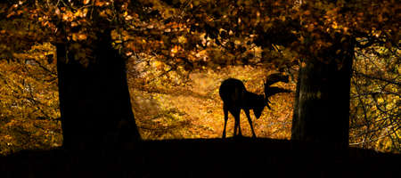 Male fallow deer under trees in autumn Stock Photo