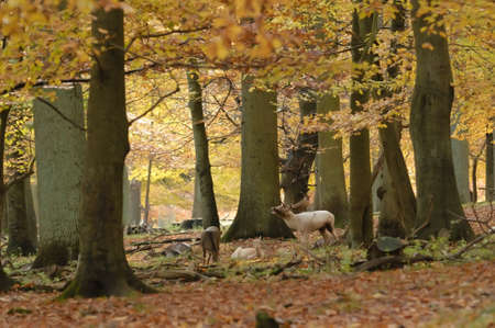 Male and females fallow deer under trees in autumn Stock Photo