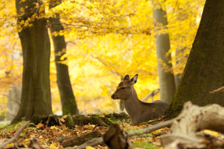 Female red deer sitting on a wood ground in autumn