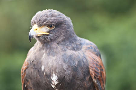 Closeup of a bird of prey Stock Photo - 18459881