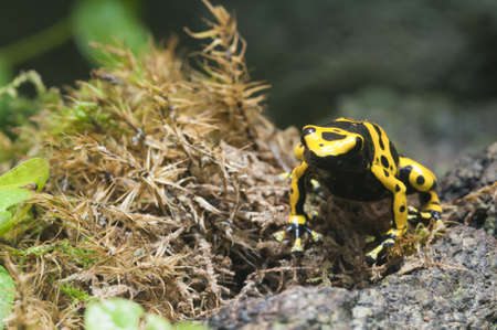 yellow and black poison dart frog: Black and yellow tropical poisonous frog of the rain forest