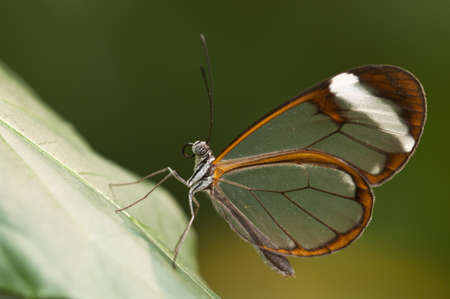 Glasswing  Greta oto  brush-footed butterfly photo