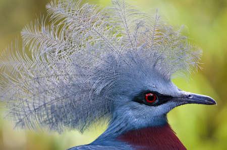 Victoria Crowned Pigeon, Goura victoria, dove of the tropics Stock Photo - 18674290