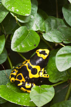 Black and yellow tropical poisonous frog of the rain forest photo