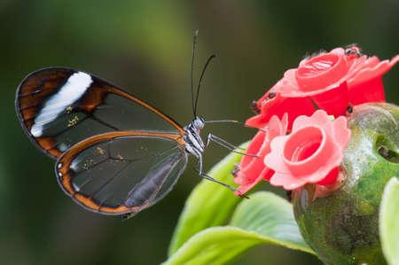 Glasswing (Greta oto) brush-footed butterfly