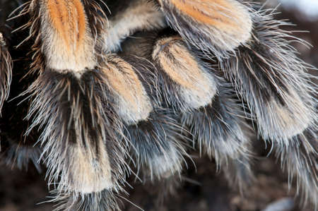 Detail of a black and brown tarantula spider legs photo