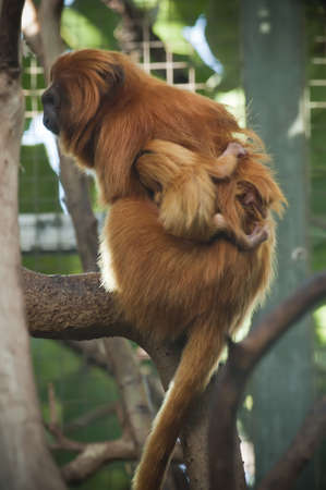 Lion tamarin monkeys with a baby of a few weeks photo