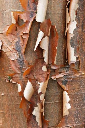 Bark detail of the Paperbark Maple tree, Acer griseum Imagens