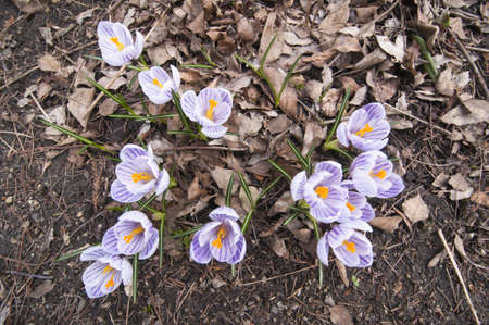 Purple, white and  yellow  Crocus flowers in full bloom in spring Stock Photo - 18672073