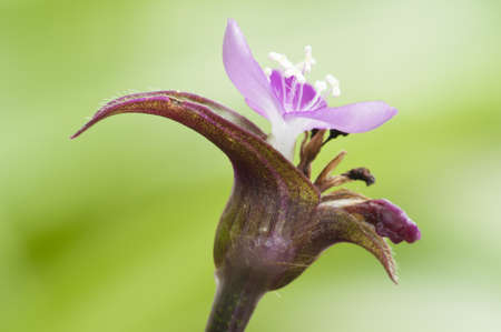 small purple flower: Small purple flower with blurred green background