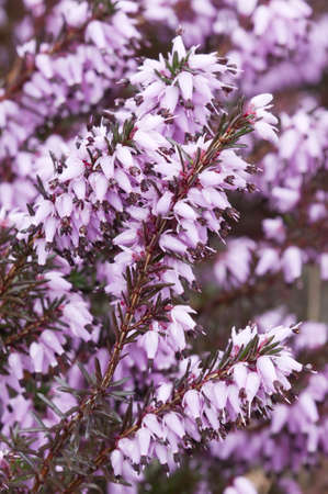 erica: Purple Erica flowers in full bloom Stock Photo