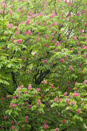 conker: Aesculus hippocastanum is a large deciduous tree, commonly known as Horse-chestnut or Conker tree Stock Photo