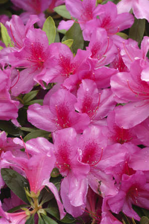 Pink and red Azalea flowers in full bloom Stock Photo - 18675185