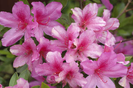 Pink and red Azalea flowers in full bloom Stock Photo - 18675309