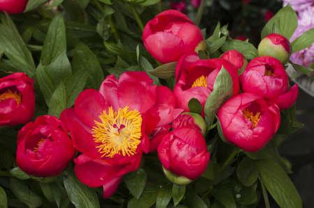 Rojo y rosa flores en plena floración paeon