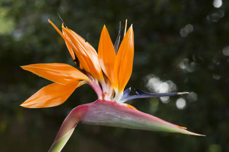 Strelitzia,  bird of paradise flower,  crane flower. Stock Photo - 18674527