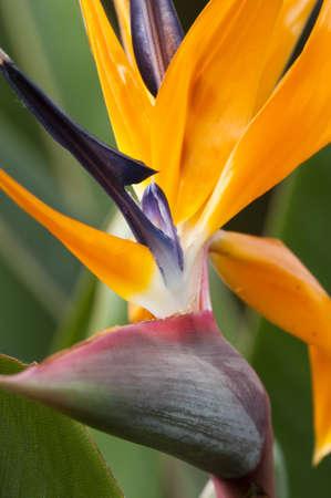 Strelitzia,  bird of paradise flower,  crane flower. Stock Photo - 18674494