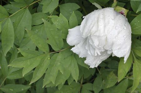 Primer plano de una flor peonía blanca