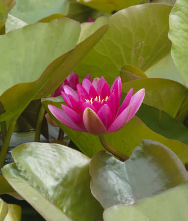 Nimphea flower on a pond in Summer Stock Photo - 18725958