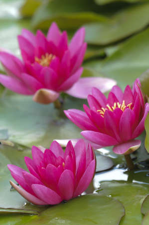 Nimphea flower on a pond in Summer Stock Photo - 18726396