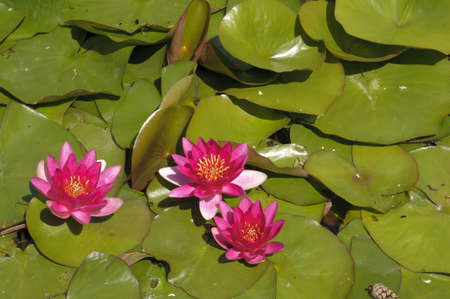 Nimphea flower on a pond in Summer Stock Photo - 18735408