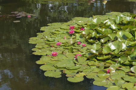 Nimphea flower on a pond in Summer Stock Photo - 18735414