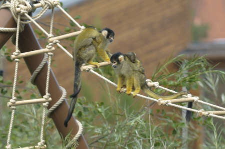 offsprings: Squirrel monkeys with offsprings (Saimiri boliviensis)