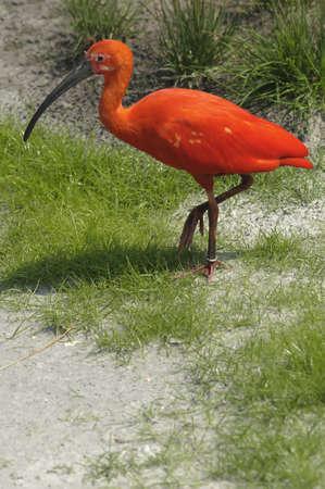 Scarlet Ibis walking on grass Stock Photo - 18779949