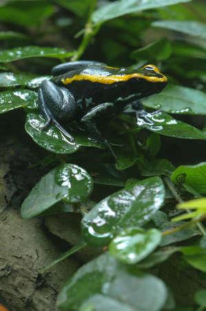 ranitomeya: Black and yellow poisonous frog in Bromelia plant, Ranitomeya Stock Photo