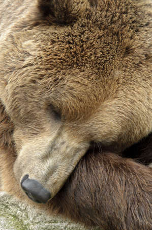 bear paw: male brown bear portrait of head Stock Photo