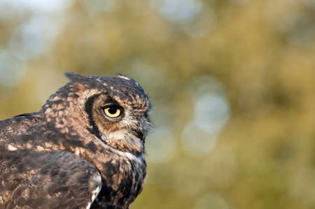 virginianus: American owl, Bubo virginianus, with yellow eyes Stock Photo