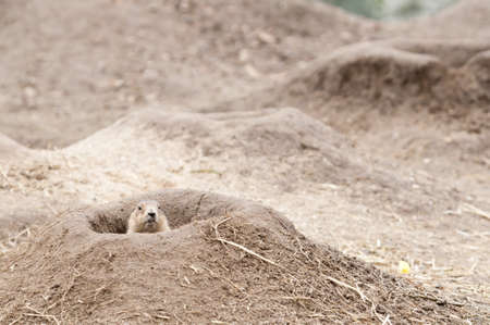 Prairie dogs (Cynomys) are burrowing rodents native to the grasslands of North America.  They are a type of ground squirrel. They are found in the United States, Canada, and Mexico