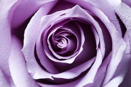 Just opened purple rose closeup with lateral lighting