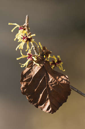 Witch-hazel, Hamamelis, is a genus of winter flowering plants in the family Hamamelidaceae Stock Photo - 18780049