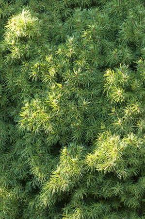 picea: Closeup of a coniferous tree, Picea glauca conica