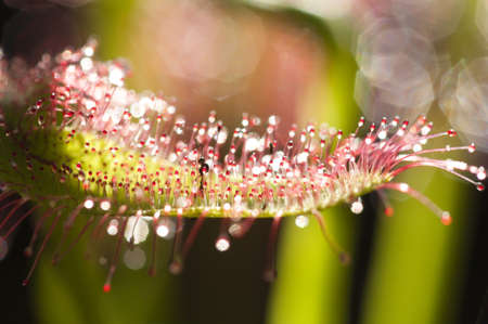Drosera capensis, commonly known as the Cape sundew, is a small rosette-forming carnivorous species of perennial sundew native to the Cape in South Africa