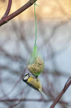 Blue Tit, Cyanistes caeruleus, hanging from an artificial food dispenser Stock Photo - 18780057