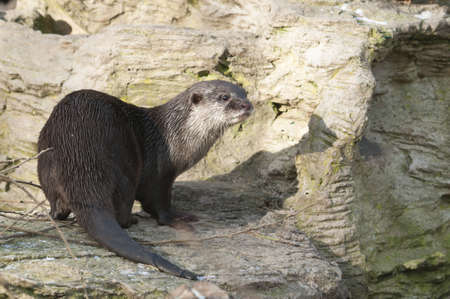 European Otter (Lutra lutra), Eurasian river otter, common otter and Old World otter, is a European and Asian member of the Lutrinae Stock Photo - 18780133