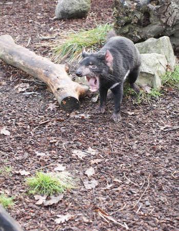 marsupial: Rare Tasmanian devil (Sarcophilus harrisii), carnivorous marsupial of the family Dasyuridae now found in the wild only in the Australian island state of Tasmania. Stock Photo