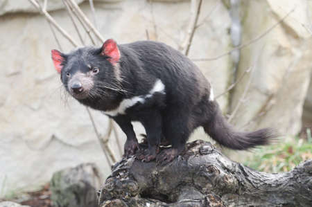 Rare Tasmanian devil (Sarcophilus harrisii), carnivorous marsupial of the family Dasyuridae now found in the wild only in the Australian island state of Tasmania. Imagens