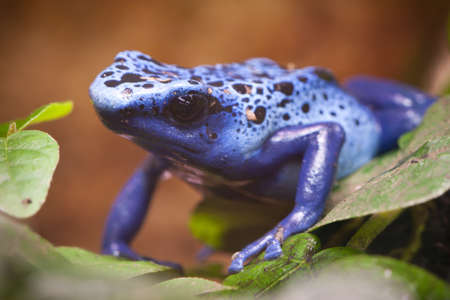 dart frog: Blue poisonous frog of central america rain forest