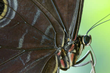 mimetism: Detail of a tropical butterfly body and wings